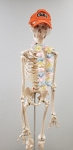 Full Size Human Skeleton