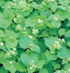 Cover Crop Seed - Buckwheat